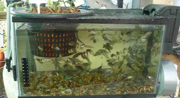 Fish-Into-Your-Aquaponic-System